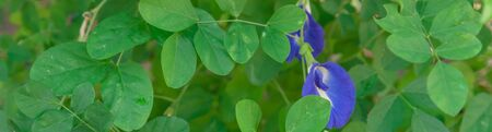 Panoramic blossom blue Asian pigeonwings or butterfly pea flower at organic garden Stock fotó