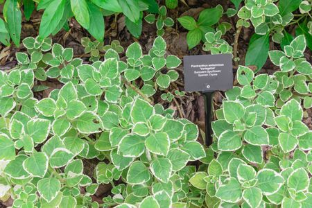 Spanish thyme leaves bordered in bright white with plant label marker at botanic garden in Singapore Stock fotó