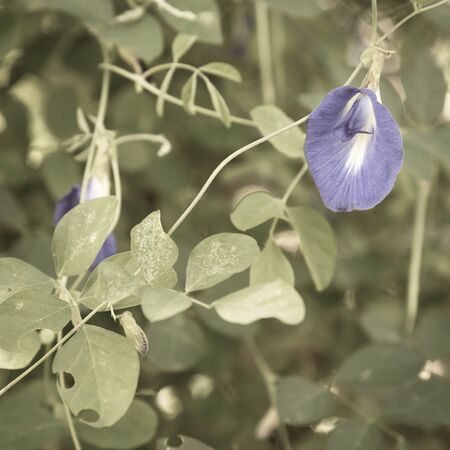 Filtered image blossom blue Asian pigeonwings or butterfly pea flower at organic garden in Singapore