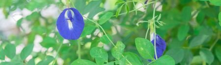 Panoramic blossom blue Asian pigeonwings or butterfly pea flower at organic garden in Singapore Stock fotó