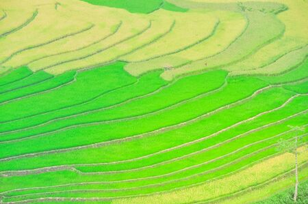 Harvest ready and green rice plants at paddy terrace field in Mu Cang Chai, Yen Bai, Viet Nam