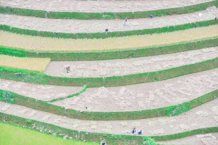 Aerial view ethnic people harvesting rice from terrace field in Mu Cang Chai, Yen Bai, Vietnam