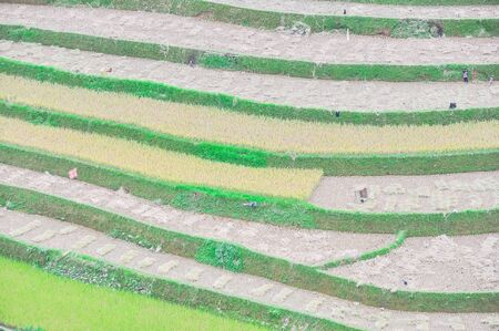 Scenic terrace rice field after harvest with small children running in Mu Cang Chai, Yen Bai, Vietnam