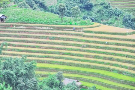 Wooden house near terrace rice field mix of green and harvested crops in Mu Cang Chai, Yen Bai, Vietnam