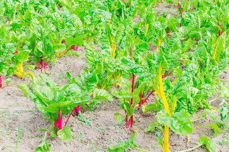 Row of Swiss chard with dry soil at vegetable farm in Washington, America. Colorful purple and yellow stems, leaf stalks of green leafy cool crops. Stock fotó
