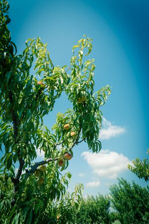 Upward view peach trees with bounty of ripe fruits under cloud blue sky. Ripe peaches ready to harvest at organic farm orchard in Waxahachie, Texas, America, summer fruit background