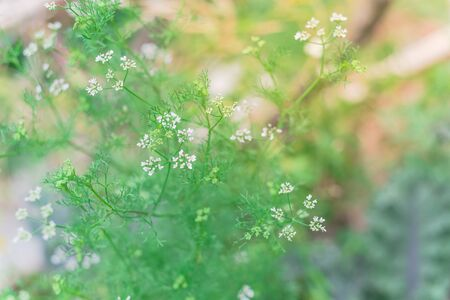 Blossom cilantro white flowers on raised bed in backyard garden near Dallas, Texas, America. Blooming cilantro plant turns coriander seeds ready to harvest