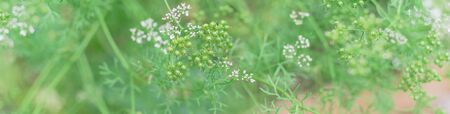 Panorama view homegrown cilantro white flowers turn coriander seeds ready to harvest at backyard garden near Dallas, Texas, America.