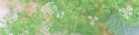 Panoramic vigorous organic cilantro plant with white flower produces coriander seeds in Texas, USA