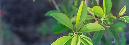 Panoramic young manilkara zapota or sapodilla on small plant growing in pot near Dallas, Texas, USA