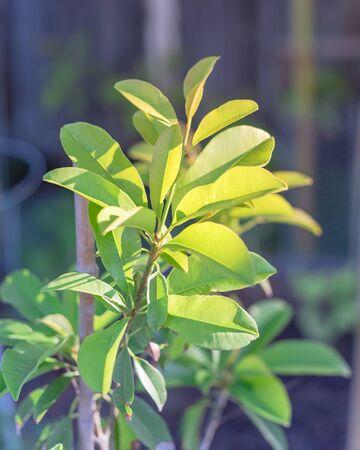 Young manilkara zapota or sapodilla on small plant growing in pot near Dallas, Texas, USA