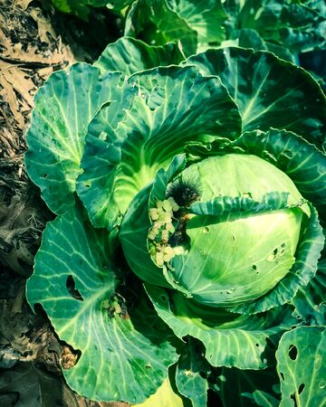 Filtered image a black caterpillar damages on cabbage head at homegrown garden bed near Dallas, Texas, USA