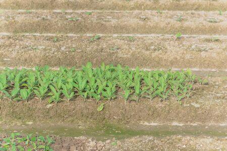 Close-up Nicotiana rustica or makhorka plant growing on hill row at organic farm in North Vietnam 版權商用圖片