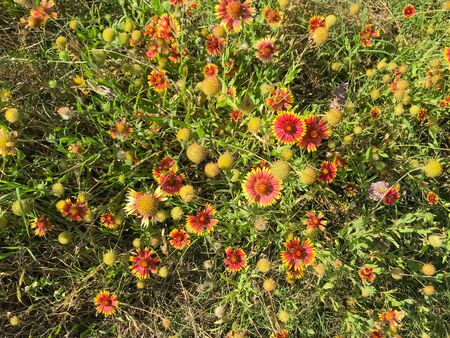 Top view blossom bush of red-orange Indian Blanket wildflower at springtime in Coppell, Texas, USA