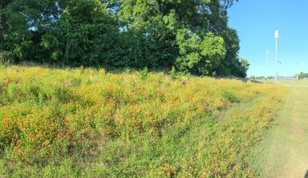 Panoramic view blooming Indian Blanket wildflower along pathway with sport park in background in Coppell, Texas, USA