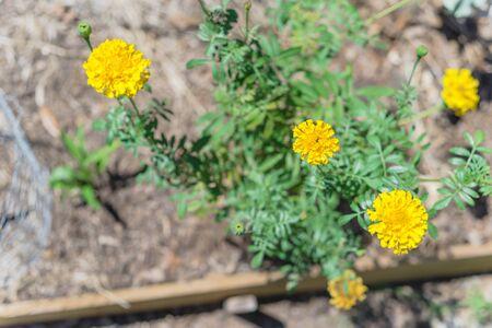 Top view raised bed garden with blossom yellow marigold flowers near Dallas, Texas, USA 版權商用圖片