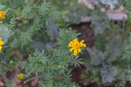 Top view yellow marigold blossom on raised bed garden near Dallas, Texas, America. Organic homegrown medical flower blooming in springtime
