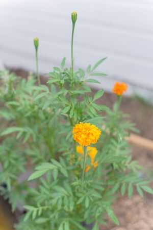 Beautiful orange yellow blooming marigold plant near wood siding of residential house in Dallas, Texas, America. Organic homegrown medical flower blossom in springtime on raised bed garden 版權商用圖片