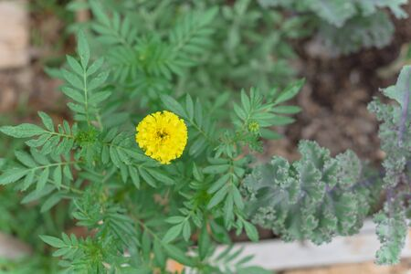 Blossom yellow marigold and red curly kale plants on raised bed garden near Dallas, Texas, America. Organic homegrown medical flower blooming in springtime 版權商用圖片