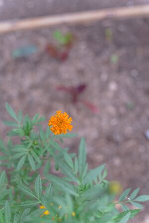 Orange and yellow marigold blossom on raised bed garden near Dallas, Texas, America. Organic homegrown medical flower blooming in springtime Zdjęcie Seryjne