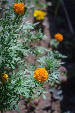 Blossom orange and yellow marigold blossom on raised bed garden near Dallas, Texas, USA
