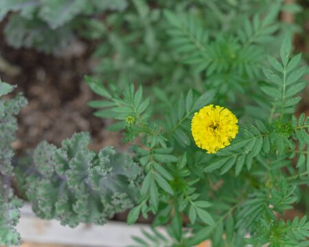 Red curly kale and marigold blossom on raised bed garden near Dallas, Texas, USA