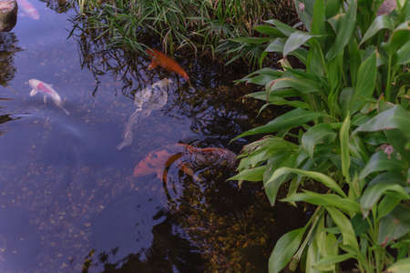 Tropical plant at water garden with colorful koi fishes swimming near Dallas, Texas, USA