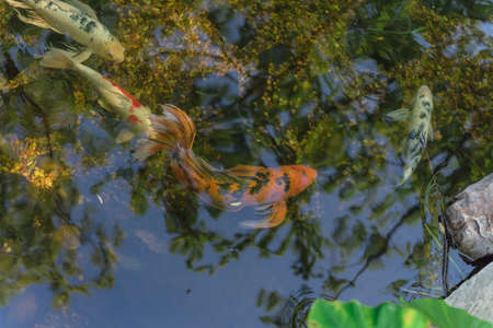 Mixed color beautiful koi fishes swimming at clear pond in botanic garden near Dallas, Texas, USA