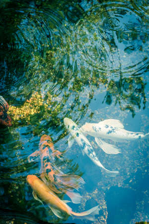 Filtered image mixed color beautiful koi fishes swimming at clear pond in botanic garden near Dallas, Texas, USA Stock fotó