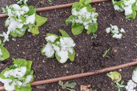 Lettuce plants under snow covered at raised bed garden near Dallas, Texas, USA