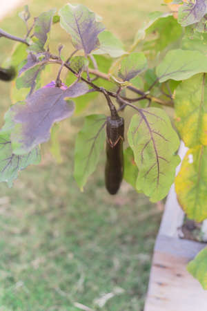 Homegrown eggplant in teardrop shape on branch spread out of wooden raised bed in Dallas, Texas, USA