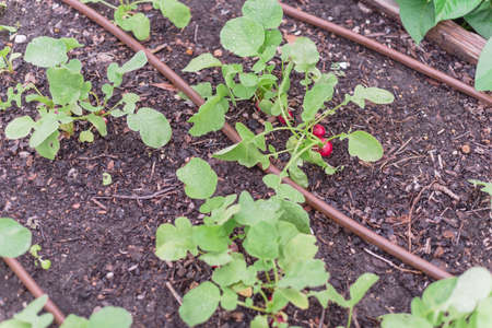 Mature radish crops with irrigation system at organic garden near Dallas, Texas, USA Imagens