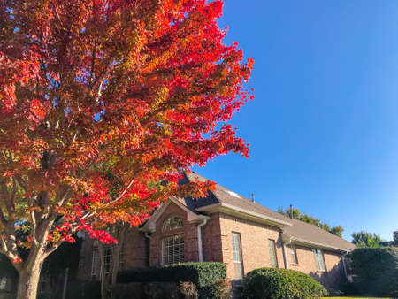 Looking up red maple tree with beautiful autumn leaves near corner house in Dallas, Texas, USA