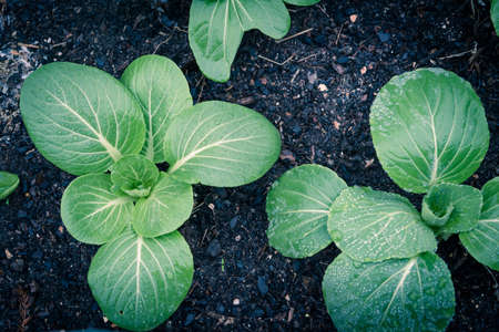 Toned photo of bok choy plants with water drops growing on dark compost soil at backyard garden near Dallas, Texas, America. Homegrown organic leafy greens garden. Imagens