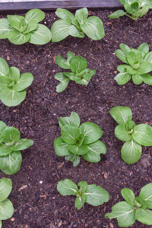 Top view row of bok choy plants with water drops growing on dark compost soil at backyard garden near Dallas, Texas, America. Homegrown organic leafy greens garden. Imagens