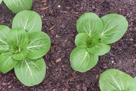Group of vigorous bok choy plants with water drops growing on dark compost soil at backyard garden near Dallas, Texas, America. Homegrown organic leafy greens garden.