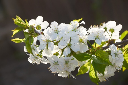Branch of blossoming sweet cherry in back light on dark background photo