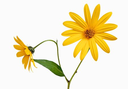 Two yellow daisy on white isolated photo