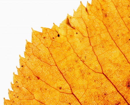 Edge of dry leaf close up isolated