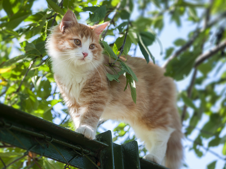 purr: Red cat is on the fence outdoor
