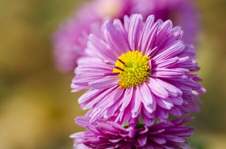 Beautiful autumn flower on blurred background close up
