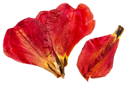 Dried red tulip petals close up on white isolated