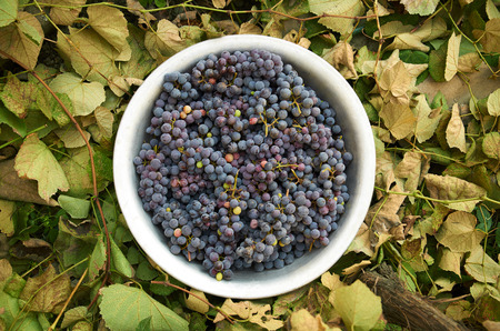 Grapes in an aluminum basin on a background of leaves outdoor