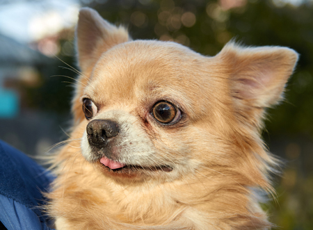 Longhair Chihuahua dog close up outdoor