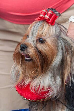 Portrait of York close up. Dog show. Archivio Fotografico