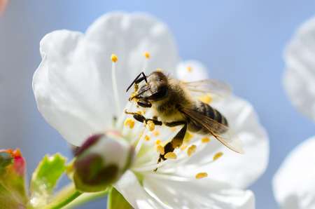 Bee collects pollen and nectar on cherries tree spring flower blossoms