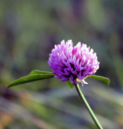 Flower of red clover Stock Photo
