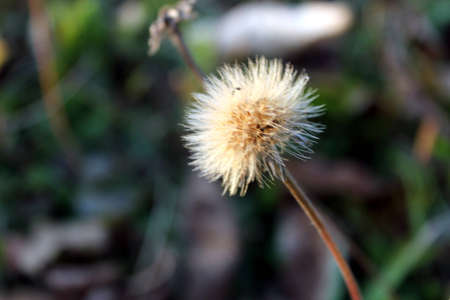autumn white dandelion