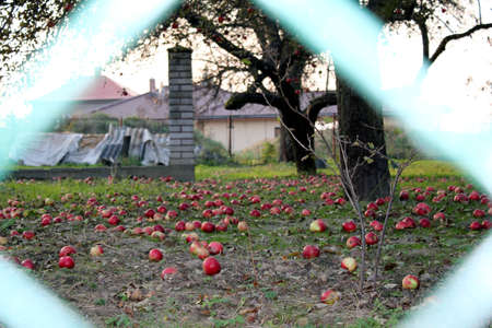 autumn apples sink behind the fence Stock Photo