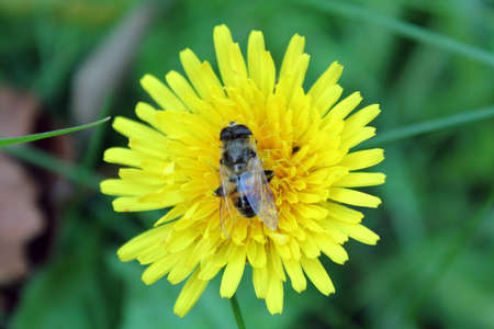 fly on dandelion